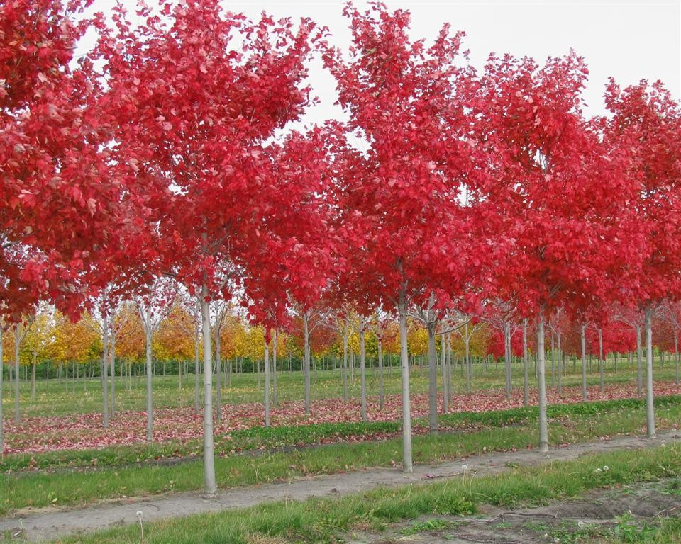 Sun valley maple tree for sale beatiful tree for Maple trees for sale