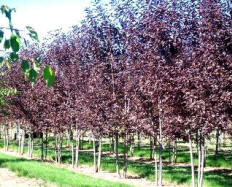Canada Red Chokecherry   Singles & Multi-stems