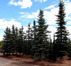 Layered Spruce