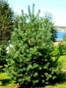 Scotch Pine