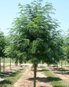 sunburst mature singles Victory greens is the best place to find trees for sale trees for sale boise we feature specimen sized plants that will make your landscape look more mature.