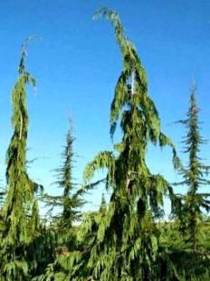 Weeping Alaska Cedar