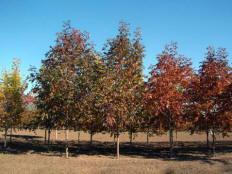 Autumn Purple Ash