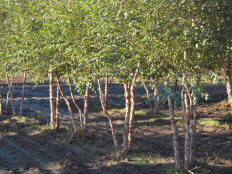 birch river singles Shop sooner and experience the difference highest quality, largest inventory, no bare root, knowledgeable friendly service, fast delivery  this dwarf river birch .