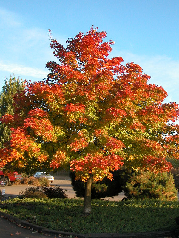 Pacific Sunset Maple