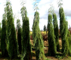 Giant Weeping Sequoia
