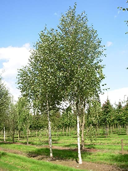 Jacquemonti Birch Tree